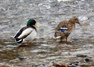 A couple of ducks, Exebridge